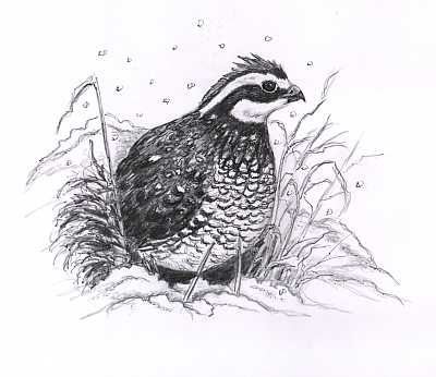 Dear Bird Folks  Quail Flying Drawing